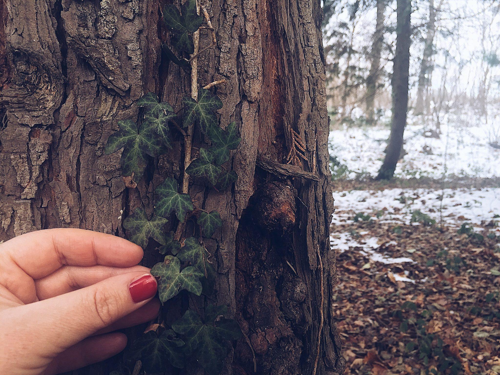 Mano di donna che tocca le foglie di un'edera che si arrampica su un tronco d'albero - tatianaberlaffa.com