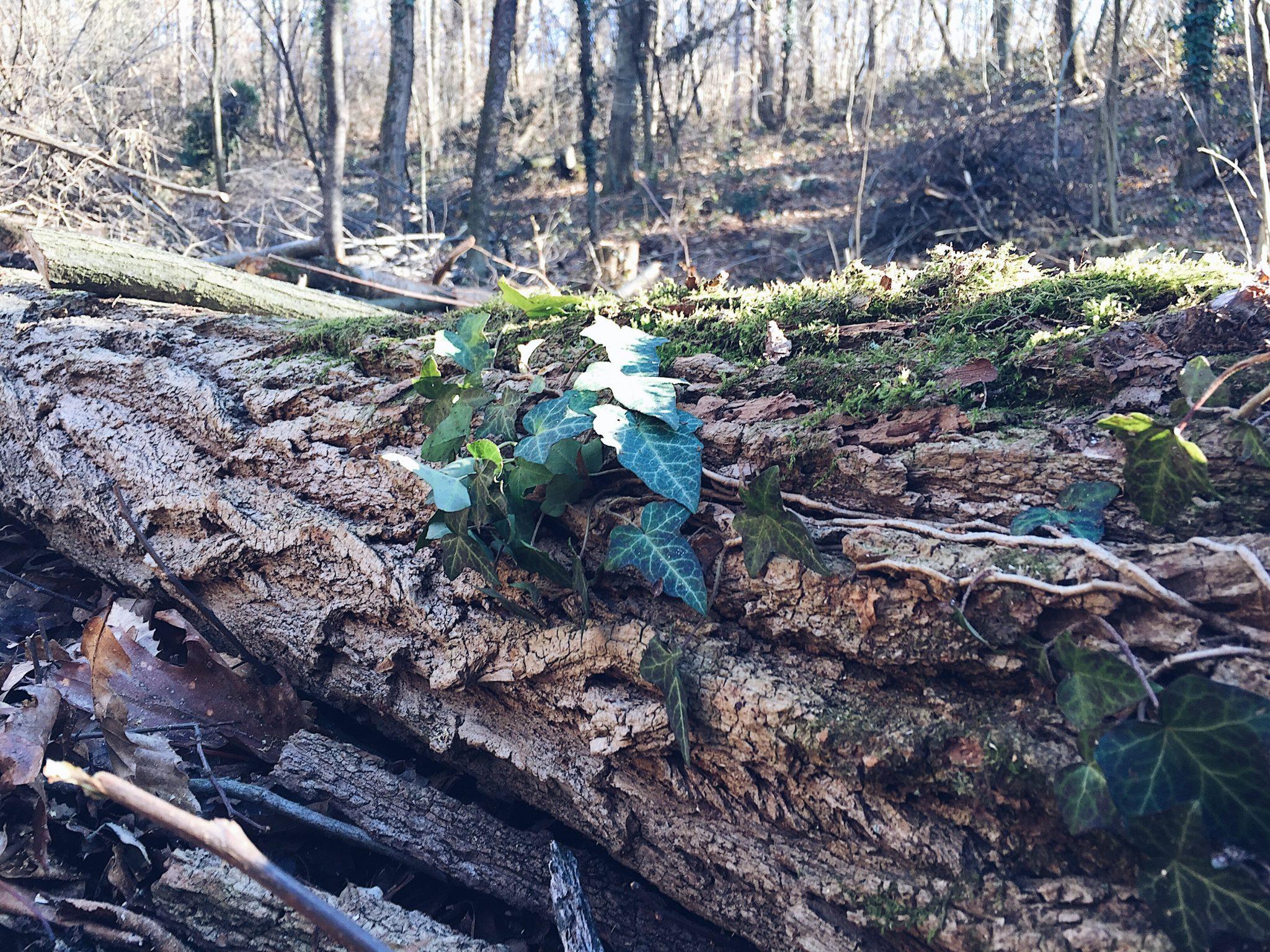 tronco caduto nel bosco ricoperto d'edera - tatianaberlaffa.com